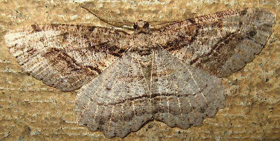 Gray Brown Moth With Line Markings & Scalloped Wings - Neoalcis californiaria