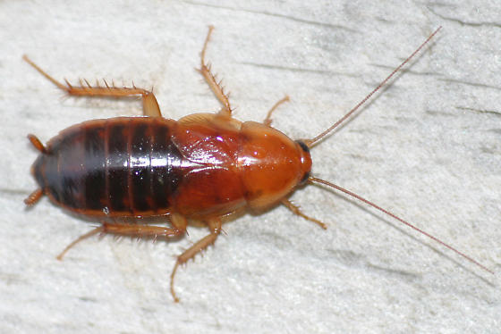 Possible Brown Banded Cockroach Supella Supellectilium