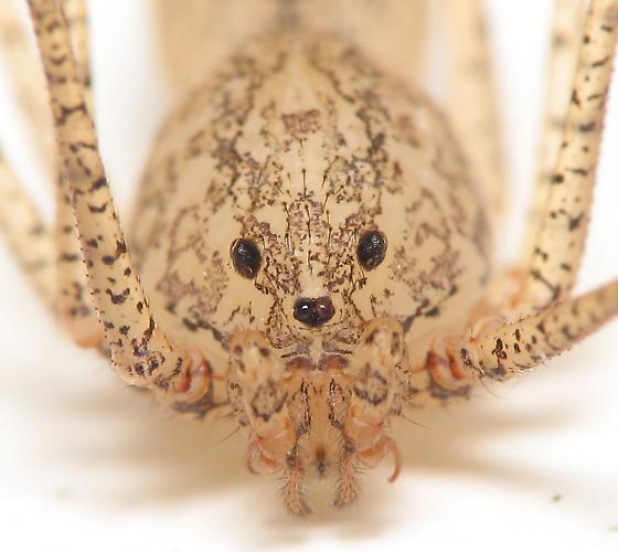 Scytodes - Scytodes longipes - male