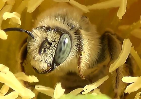 Chimney Bee Blond Hairs - Diadasia - male