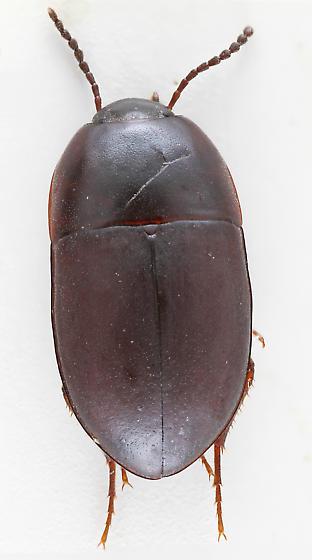 Darkling Beetle - Gondwanocrypticus obsoletus