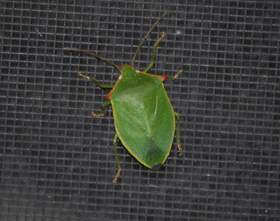 Southern green stink bug or not - Loxa flavicollis