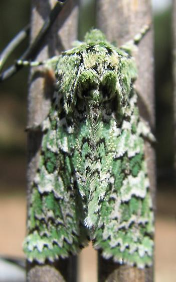 I believe this is a specimen of Feralia februalis in Southern California - Feralia