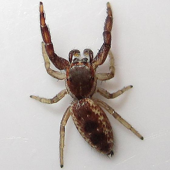 Hentzia palmarum - male