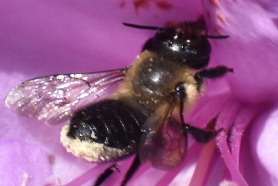 Fast flexible bee - Megachile - female
