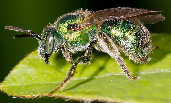 Metallica Green Bee - Augochloropsis metallica - female