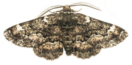 Oak Beauty Moth - Phaeoura quernaria