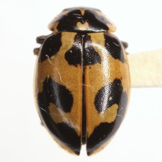 Hippodamia apicalis Casey - Hippodamia apicalis
