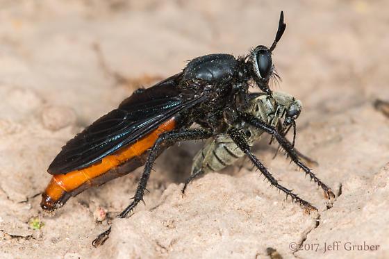 Asilid - Ospriocerus aeacus - female