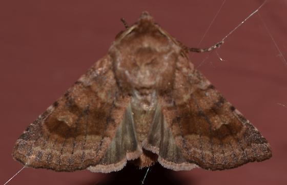 Nephelodes minians - Bronzed Cutworm - Hodges#10524 - Nephelodes minians