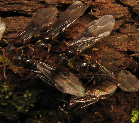 Nuptial flight - Lasius - female