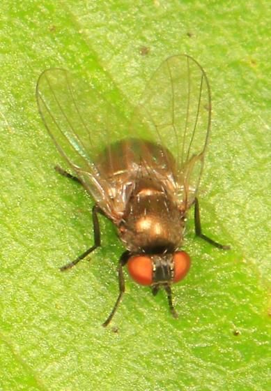small golden fly - Japanagromyza viridula - male