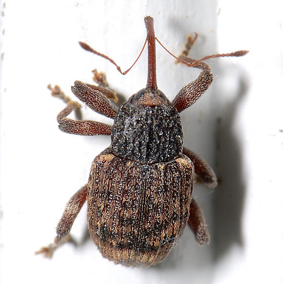 Li'l Weevil (Curculionidae of some kind?) - Conotrachelus lucanus