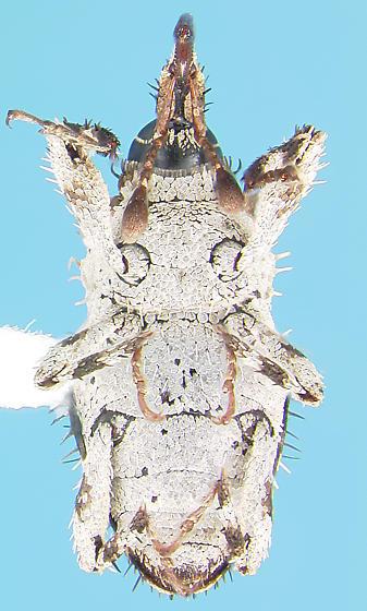 Curculionid - Plocamus echidna