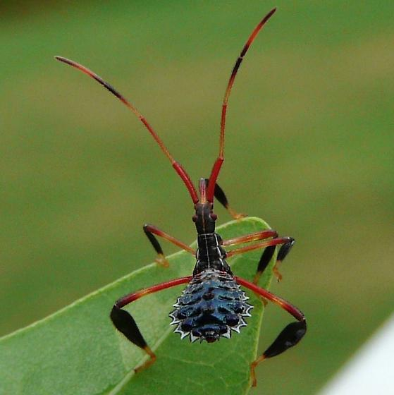 Nymph of Leaffooted bug - Acanthocephala