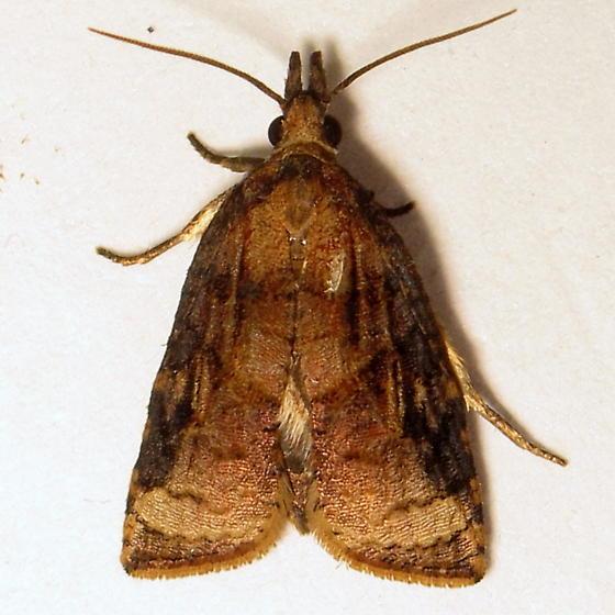 dorsal adult - Platynota - male