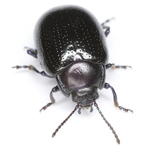 Chrysolina auripennis (Say) - Chrysolina auripennis