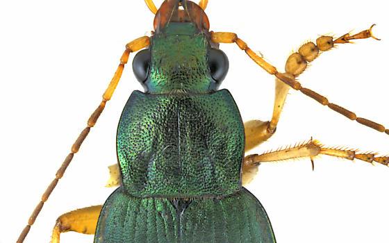 Ground beetle - Chlaenius sericeus