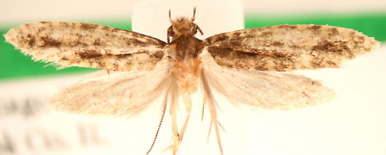 Tineoidae - Cephitinea obscurostrigella - male