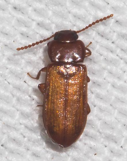 Orangish-winged beetle - Adelina