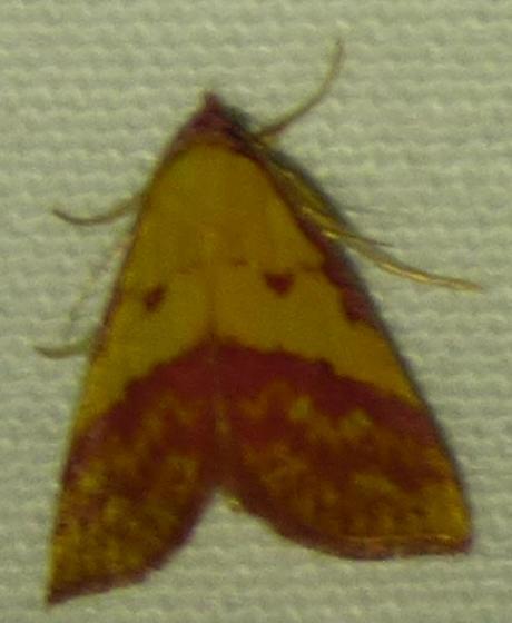 Phytometra rhodarialis - Pink-Bordered Yellow - Phytometra rhodarialis