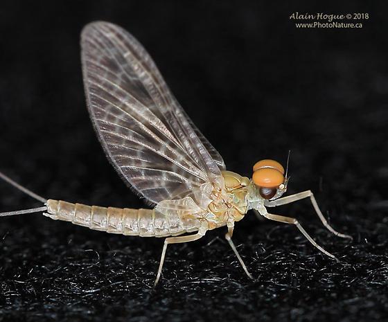 Callibaetis skokianus ? - Callibaetis skokianus - male