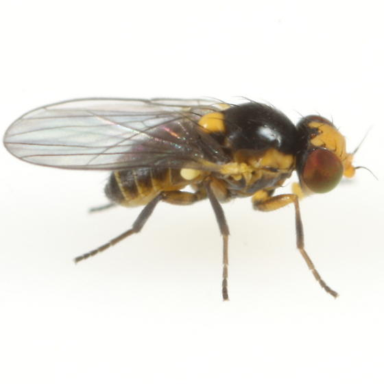 Liriomyza sativae - male