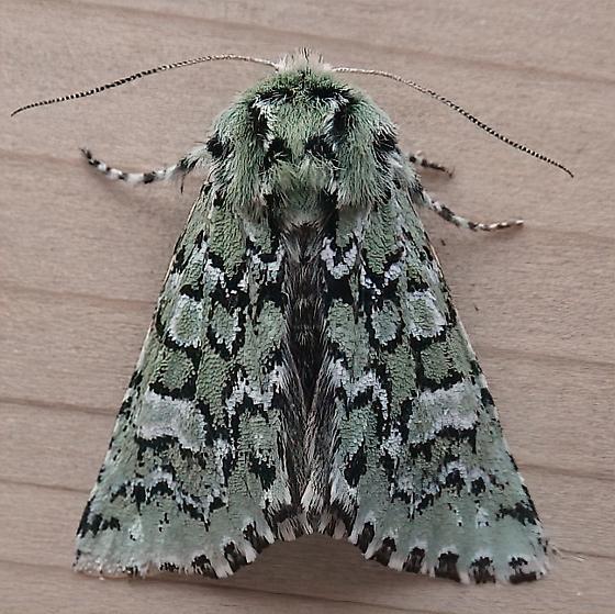 Noctuidae: Feralia comstocki - Feralia comstocki