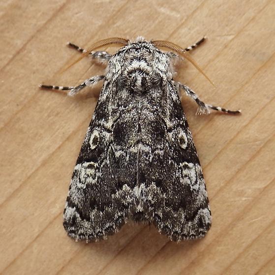Noctuidae: Charadra deridens - Charadra deridens