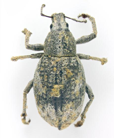 Curculionidae, Broad-nosed Weevil - Epicaerus imbricatus
