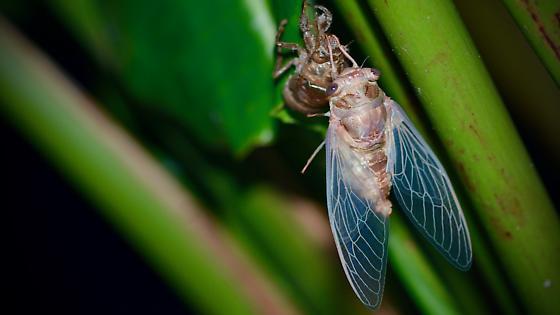 Teneral cicada in Ormond Beach, Florida - Neotibicen similaris