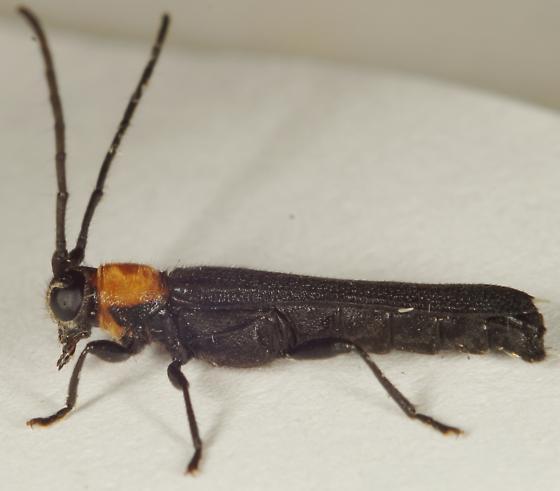 Oberea sp.? - Oberea affinis