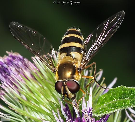 Diptera. Syrphidae. - Epistrophe grossulariae - female