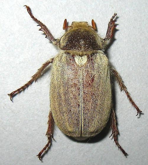 Dusty June Beetle - Amblonoxia