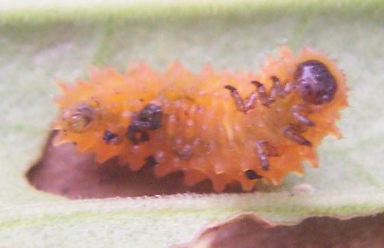 Larva of shining flea beetle - Asphaera lustrans