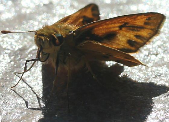 Polites - Hylephila phyleus - male