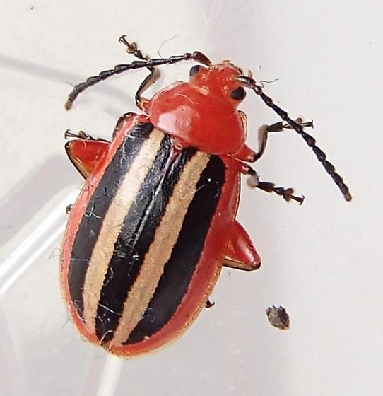 Flea beetle- Disonycha leptolineata? - Disonycha discoidea