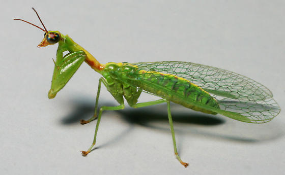 Mantidfly - Zeugomantispa minuta