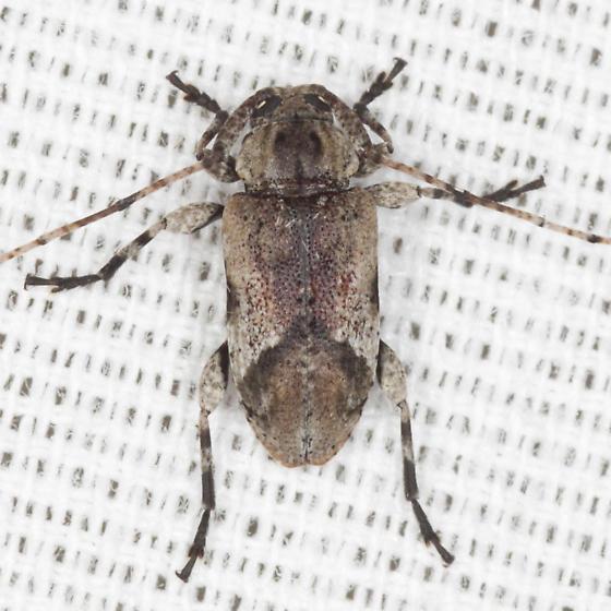 Long-horned Beetle - Styloleptus biustus