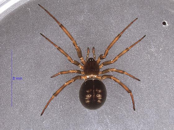 Steatoda grandis - female