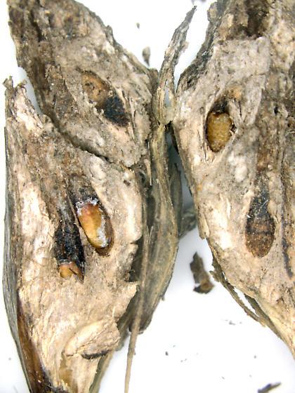 Gall on Cirsium, opened - Urophora cardui