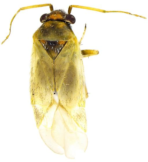 Male, Megalopsallus? - Megalopsallus sparsus - male