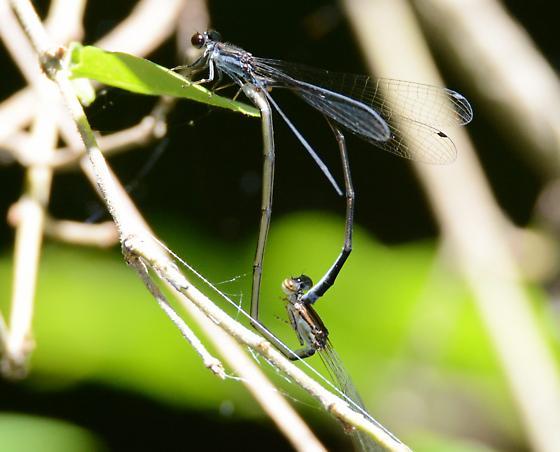Blackwater Bluet - Enallagma weewa - male - female