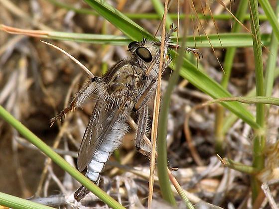 Robber fly - Efferia benedicti