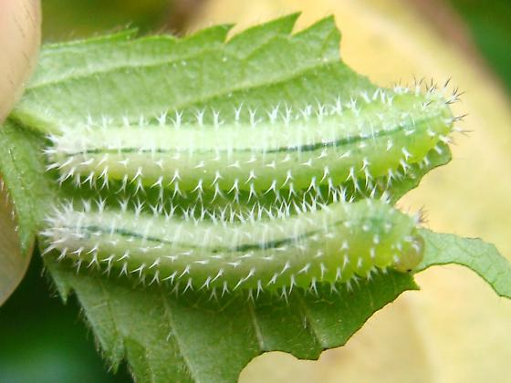 Raspberry Sawfly larvae - Monophadnoides rubi