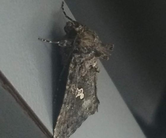 Noctuidae: Trichoplusia sp. perhaps?  - Trichoplusia ni