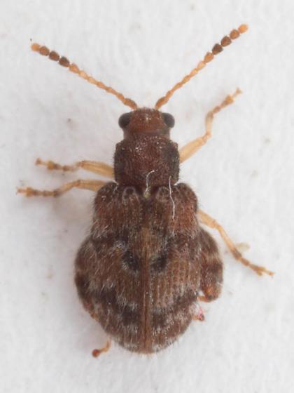 Distigmoptera 1 - Distigmoptera