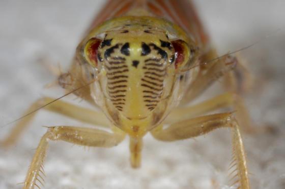 Cicadellid - Pagaronia triunata