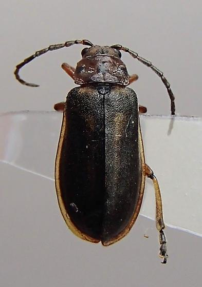 Beetle - Xanthogaleruca luteola