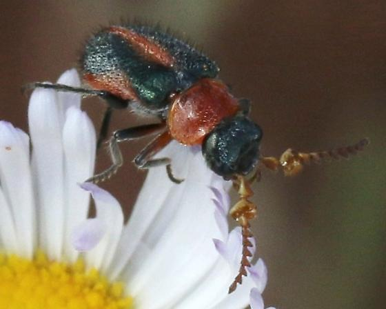 corkscrew antennae, red & black, flower bug ?  - Collops